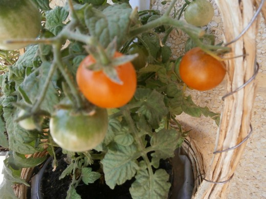 Try growing your own tomatoes