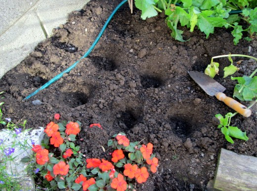 Planting Strawberry Roots Safely