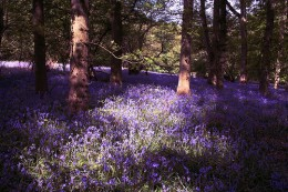 A wonderful carpet of bluebells in a wood in the Cotswolds, Glos. Copyright Nick Owen from Flickr