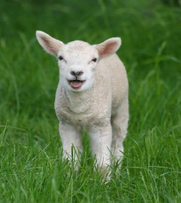 A young lamb in a field in Kent, in England. Copyright law_keven from Flickr.