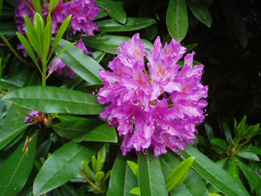 Gorgeous Purple Rhododendron Blooms
