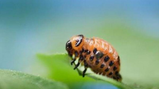 The Colorado potato beetle doesn't just affect potatoes but also their relatives tomatoes and eggplants.