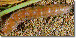 Cutworms are especially harmful to young transplants.