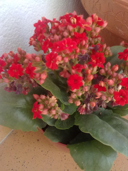 Kalanchoe is an easy to look after starter plant.