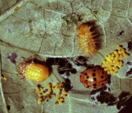 These are different forms of the destructive Mexican Bean beetle. One form, as you will notice, looks deceptively like an orange ladybug