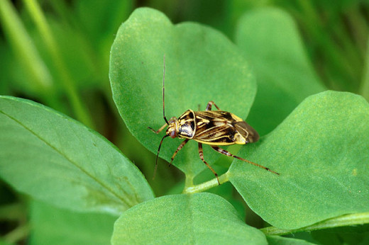 Lygus lineolaris, commonly known as the tarnished plant bug, is a serious alfalfa pest.