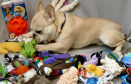 Teddy has a great selection of toys to enrich his life - but he doesn't get them all at once.