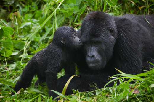 Gorilla's are peaceful and family- oriented, so why do we not love gorilla's?