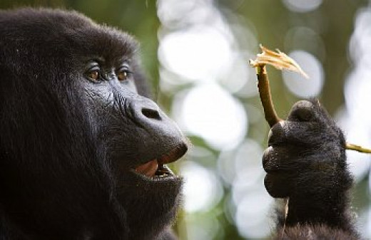 Gorilla's are highly- intelligent, able to study and learn about life around them