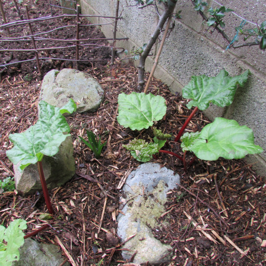 Place the compost and mulch around the rhubarb plants to reduce weeds and retain moisture