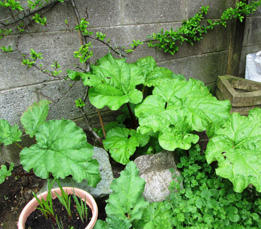 These Rhubarb Plants are Ready to be Harvested