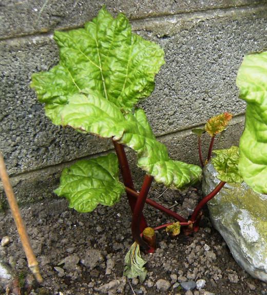 Rhubarb Growing in my Garden