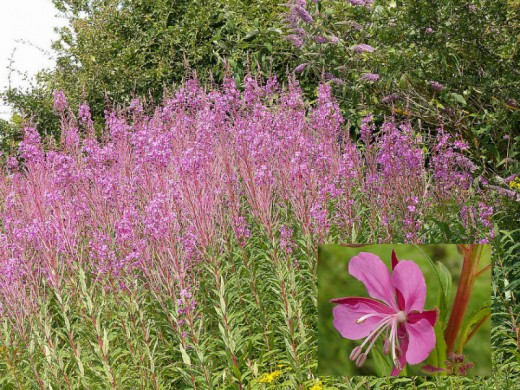 Willow Herb.