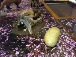 The mysterious life of the wild haggis