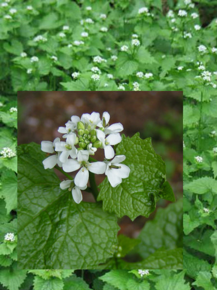 Garlic Mustard or Jack By The Hedge..