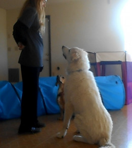 Training a Great Pyrenees.