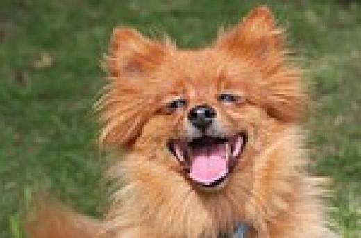 Laughing Spitz dog