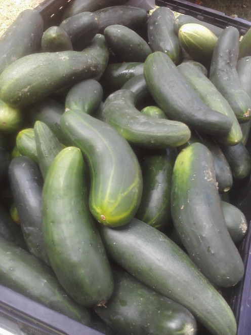 This is a picture of Zucchini that you need to grow to make this  Chocolate Zucchini Cake Recipe.