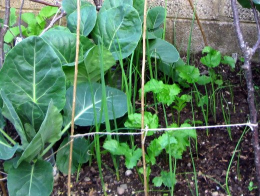 The scallions beside the cabbage were planted a few weeks before those planted on the right next to the parsnips