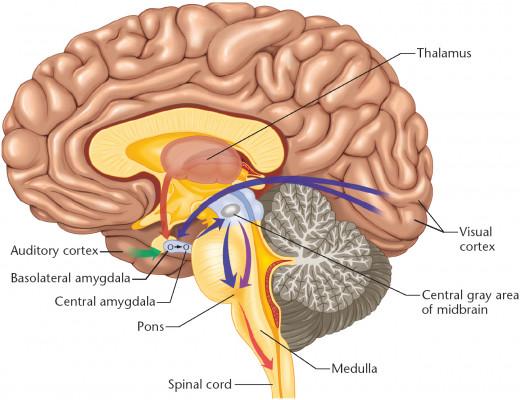 Fig3.  Amygdala and emotions