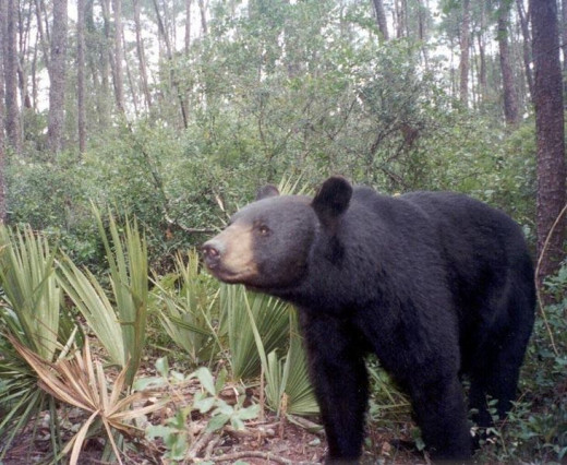 The average male Black Bear is 300  pounds, but some have grown to over 500 pounds.