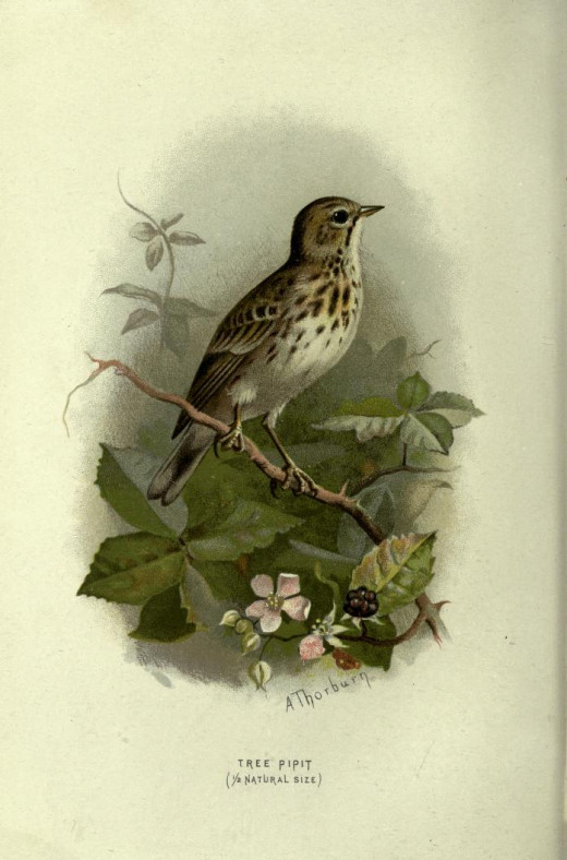 Familiar Wild Birds {1838}
