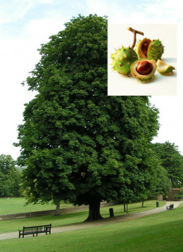 Horse Chestnut Tree.
