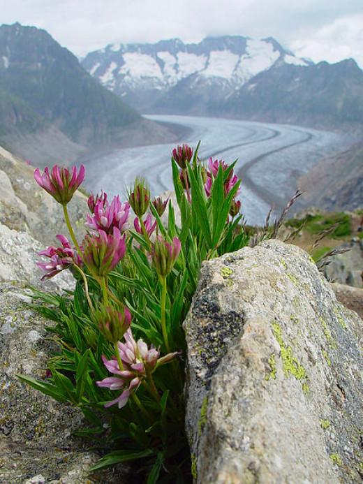 Joseph Steufer Fleurs avec le Glacier d'Aletsch en arrière plan