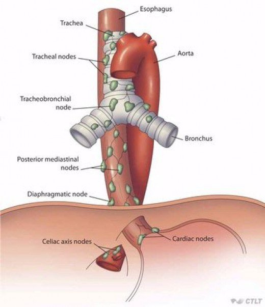 The three Anatomical regions of the Esophagus are the PharyngoEsophageal junction, Bifurcation of the Trachea and the point where it enters the Diaphragm