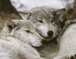 Gray wolves and dogs are related.