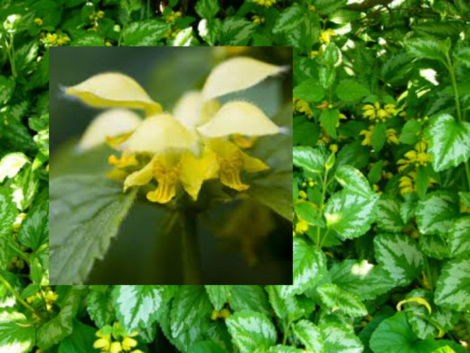 Yellow Deadnettle.