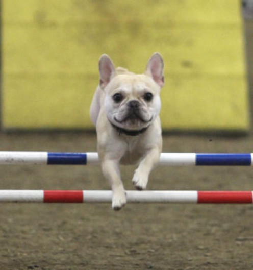 This is my dog, Teddy (French Bulldog) competing in Agility.