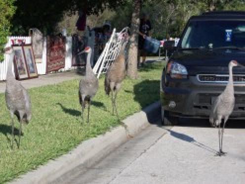 Sandhill Cranes shopping our neighborhood yard sale