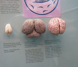 Dolphin brain in the middle and human brain on the right.