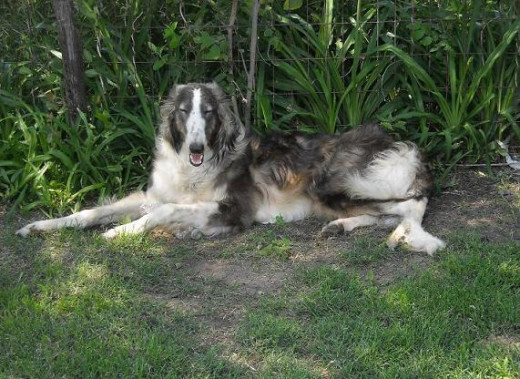 Auggie, chillin in the shade.