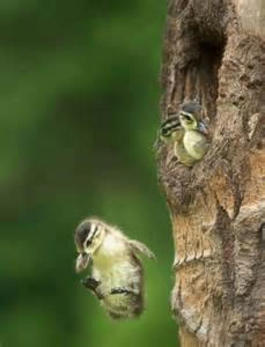 Wood Ducklings Leaving Nest