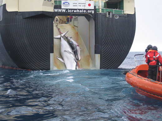 A Minke whale and her 1-year-old calf are dragged aboard the Nisshin Maru, a Japanese whaling vessel that is the world's only factory whaling ship. The wound that is visible on the calf's side was reportedly caused by an explosive-packed harpoon.