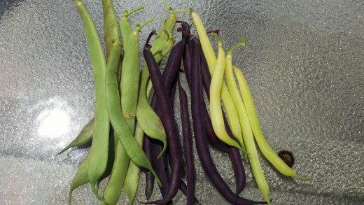 Bush Beans (from left to right): Italian Rose, Purple Queen and Eureka