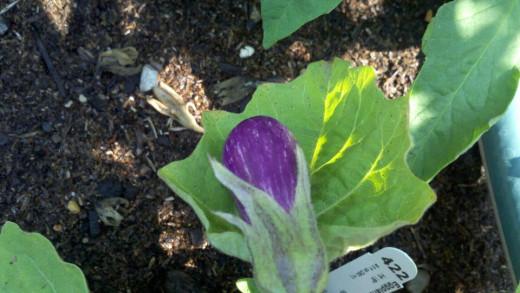 """Baby Eggplant """"Fairy"""""""
