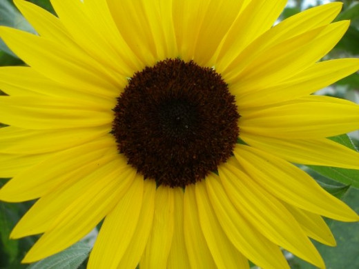 "Sunflower ""Lemonade Mix"""