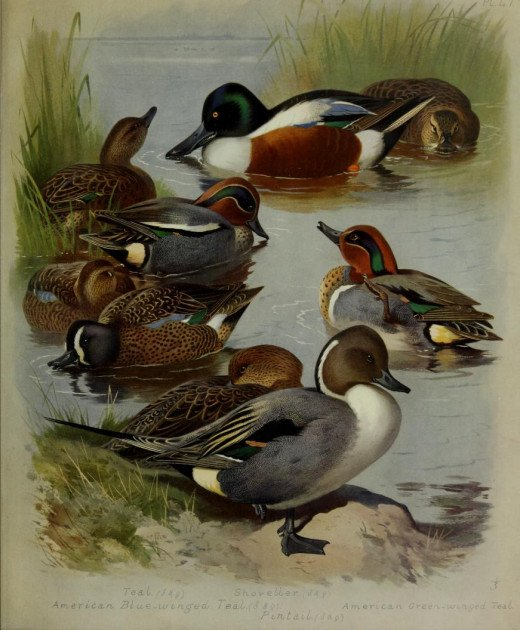 Courtesy of A. Thorburn {artist} British Birds . The European teal, Shoveller, American Blue winged teal American Green winged teal and Pintail.