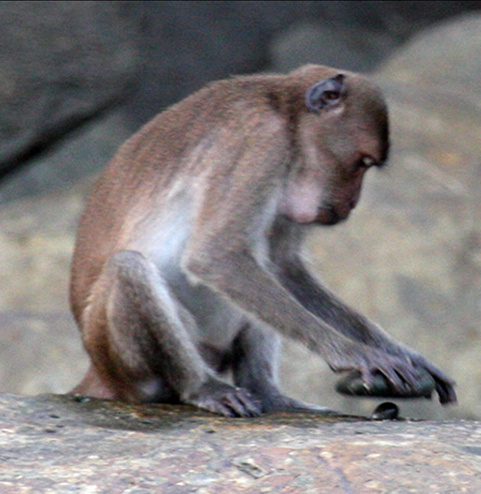 A monkey using a stone as a tool