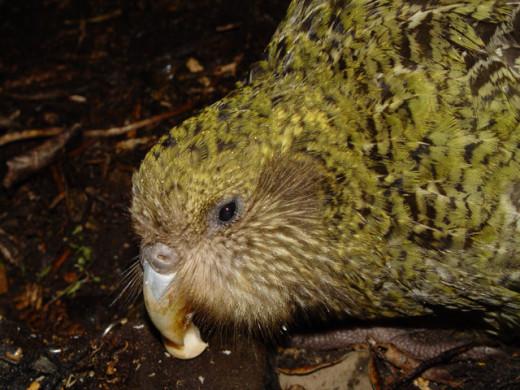 Kakapo face up close