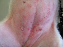 Dermatitis Reaction on a dog's skin