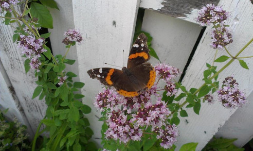 Red Admiral Butterfly enjoying some Oregano blooms