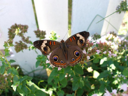 Common Buckeye Butterfly on Oregano Bloom