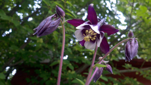 "Columbine ""William Guinness"""