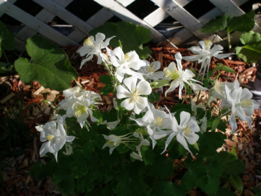 Giant white Columbine in my part-shade border