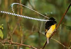 Male Magnificent Bird of Paradise