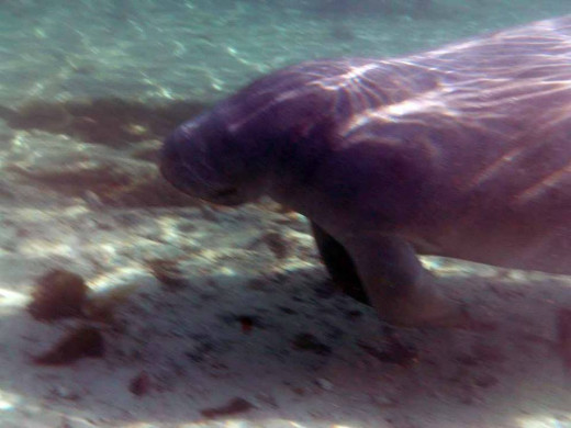 Manatees don't see very well and they like to spend most of the time they aren't eating by sleeping.  Manatees can nap for twenty minutes at a time underwater.